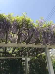 多摩センターの藤の花
