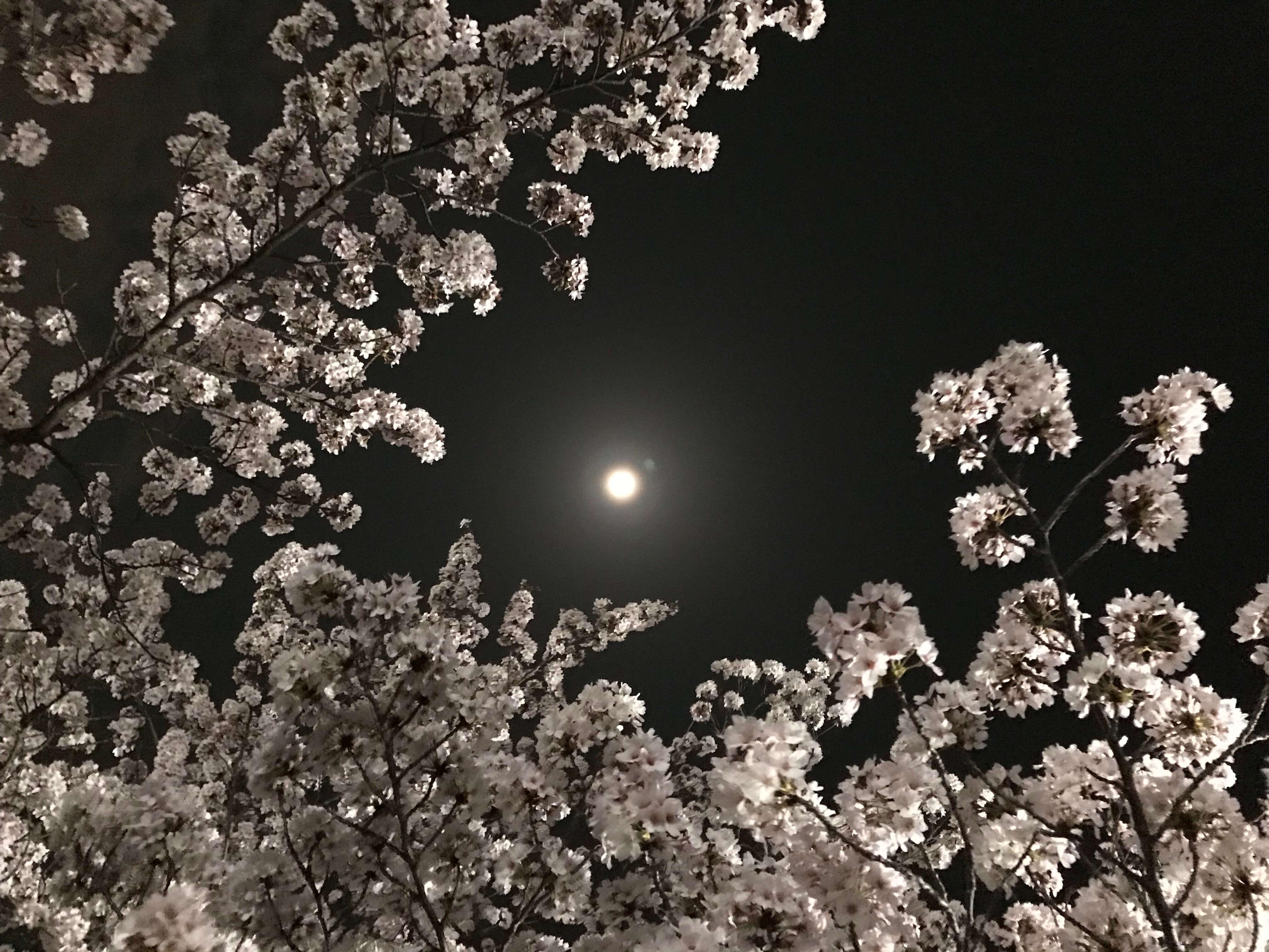 多摩市の夜桜